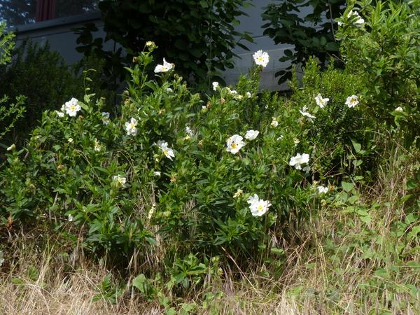 Cistus ladanifer L. subsp. ladanifer