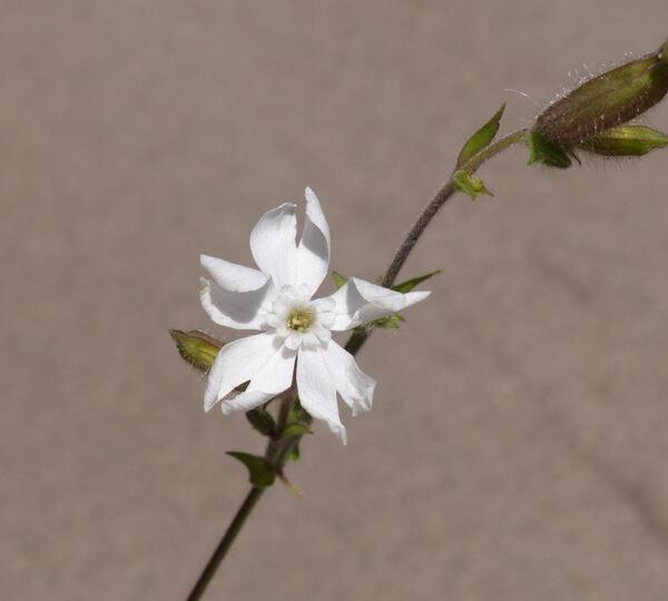 Silene latifolia Poir.