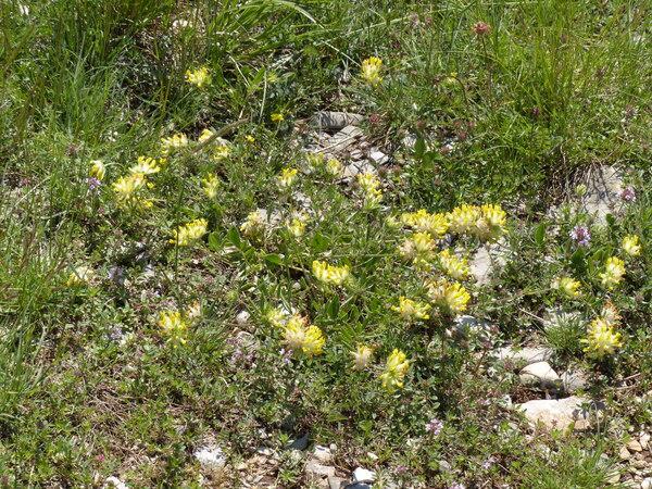 Anthyllis vulneraria L. subsp. carpatica (Pant.) Nyman
