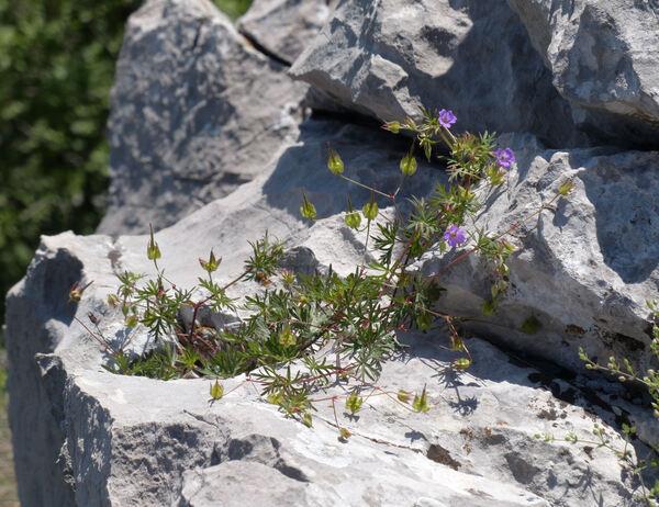 Geranium columbinum L.