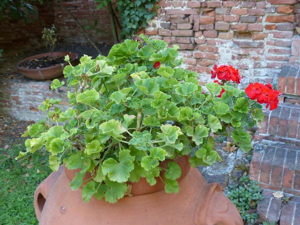 Pelargonium zonale (L.) L'Hér.