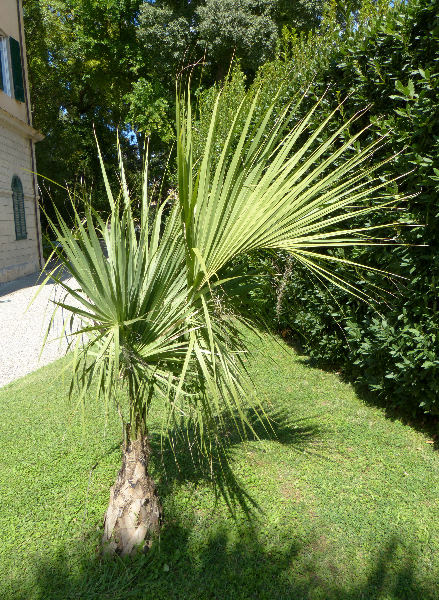 Sabal palmetto (Walt.) Lodd. ex J.A. Schult. & J.H. Schult.