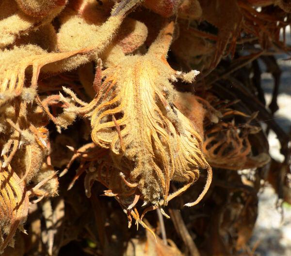 Cycas revoluta Thunb.