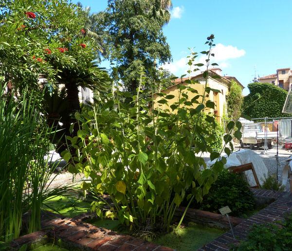 Hibiscus palustris L.