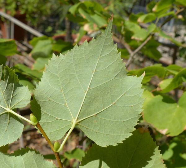 Tilia x europaea L.