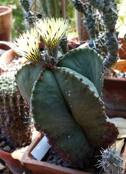 Astrophytum sp.