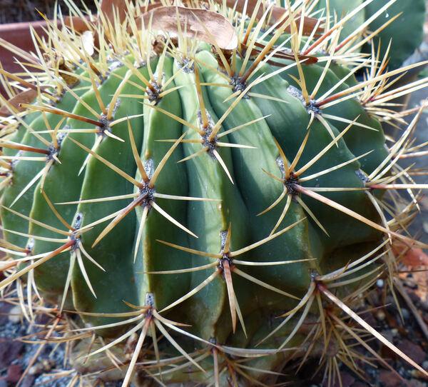 Ferocactus emoryi (Engelm.) Orcutt
