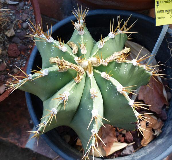 Astrophytum ornatum (DC.) Britton & Rose