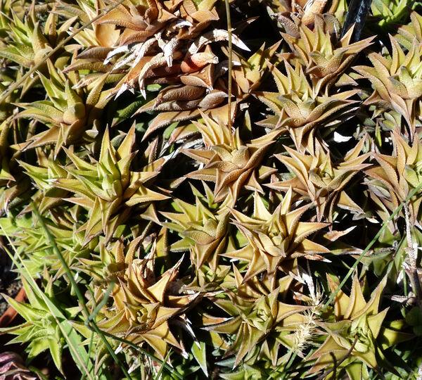 x Astroworthia bicarinata (Haw.) G.D.Rowley