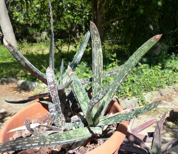 Gasteria acinacifolia (J.Jacq.) Haw.