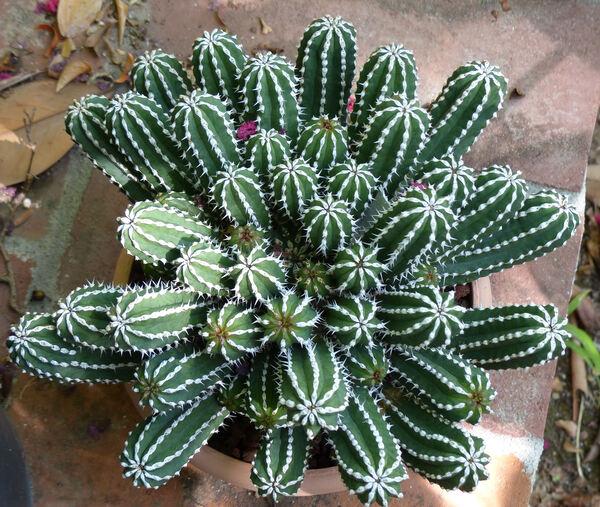 Euphorbia echinus Hook.f. & Coss.