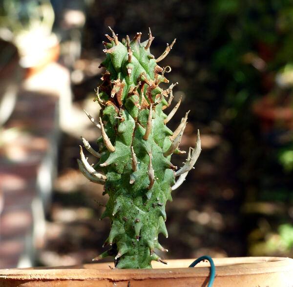 Euphorbia schoenlandii Pax