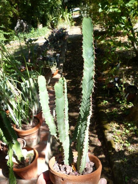 Euphorbia heterospina S.Carter