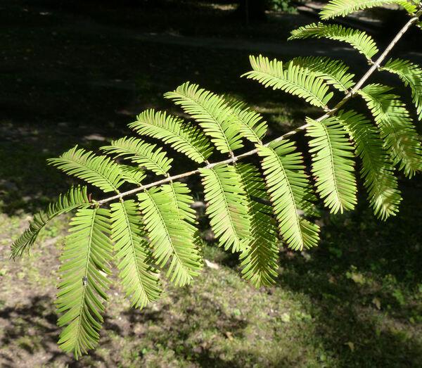 Metasequoia glyptostroboides Hu & W.C.Cheng.