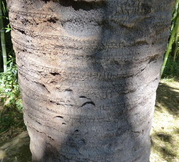 Butia capitata (Mart.) Becc. var. pulposa (Barb. Rodr.) Becc.