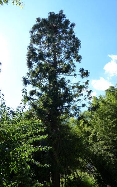 Araucaria bidwillii Hook.