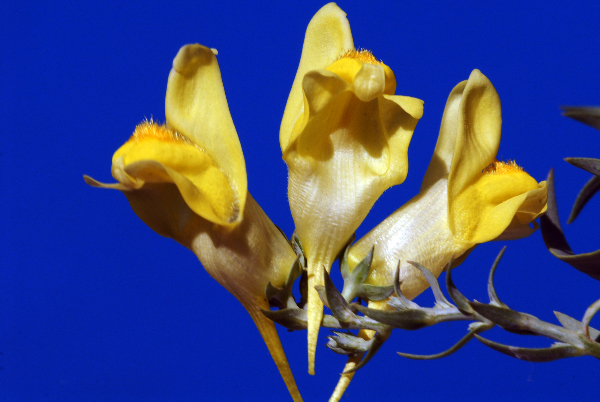 Linaria dalmatica (L.) Mill.