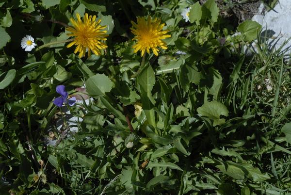 Taraxacum pollinense Aquaro, Caparelli & Peruzzi