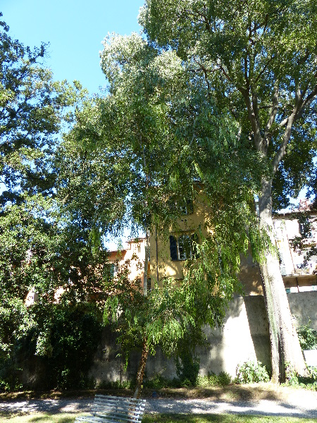Eucalyptus viminalis Labill. subsp. viminalis