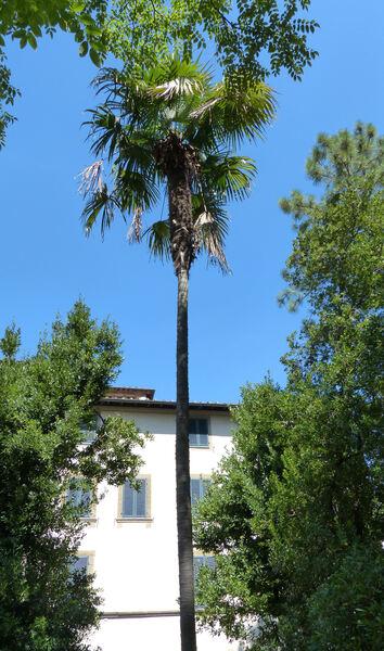 Trachycarpus martianus (Wallich) Wendl.
