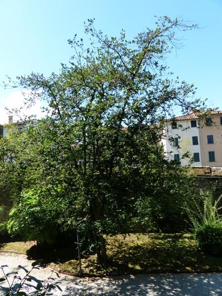 Buxus sempervirens L. 'Latifolia Bullata'