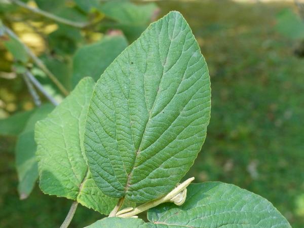 Viburnum veitchii C.H. Wright