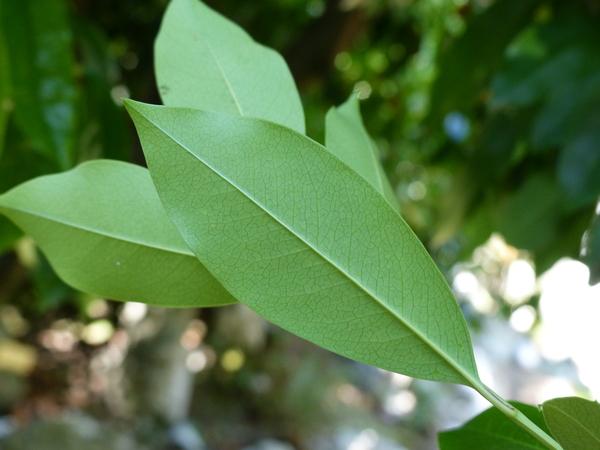 Prunus caroliniana Aiton