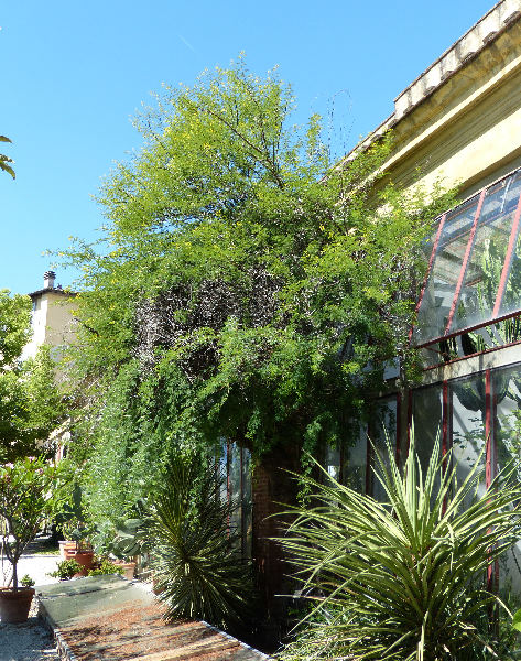 Acacia eburnea Willd.