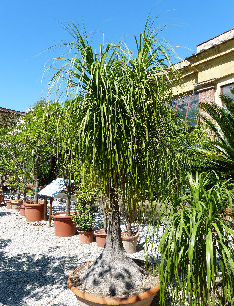 Beaucarnea stricta Lem.