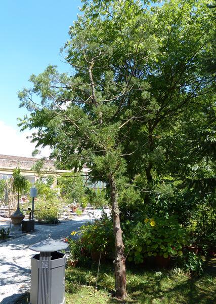 Afrocarpus falcatus (Thunb.) C.N.Page
