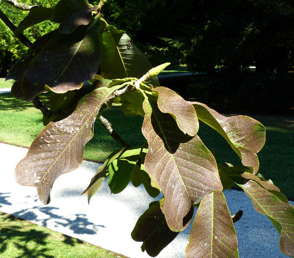 Magnolia biloba (Rehd. et Wils.) Cheng