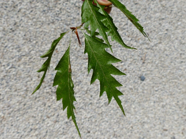Fagus sylvatica L. 'Laciniata'