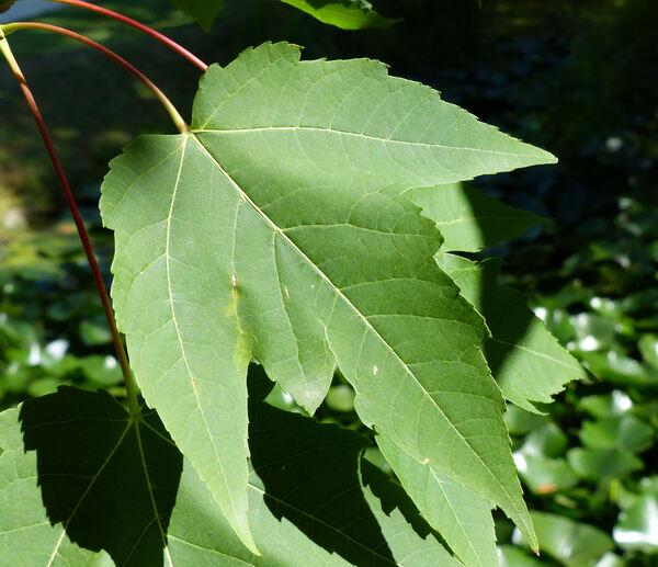 Acer rubrum L.