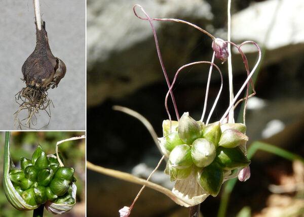 Allium longispathum Redouté