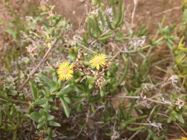 Delosperma multiflorum L.Bolus