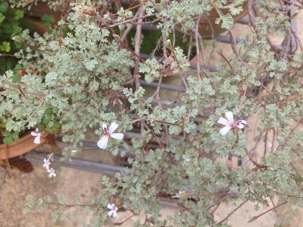 Pelargonium abrotanifolium (L. f.) Jacq.
