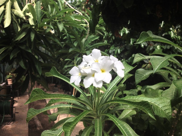 Plumeria pudica Jacq.