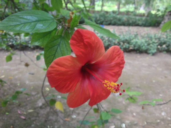 Hibiscus liliiflorus Cav.