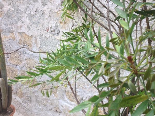 Phyllanthus latifolius Sw.