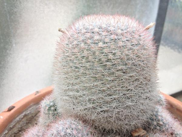 Mammillaria candida Scheidw.