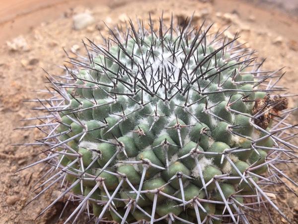 Mammillaria orcuttii Boed.