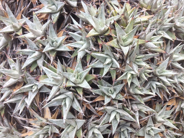 Deuterocohnia brevifolia (Griseb.) M.A. Spencer & L. B. Sm.