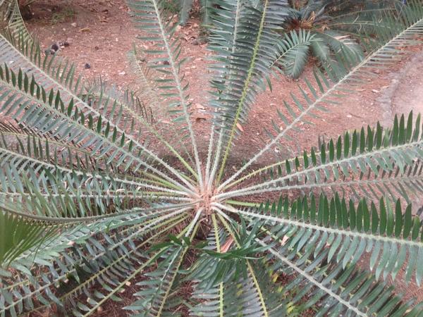 Encephalartos chimanimaniensis R.A.Dyer & I.Verd.