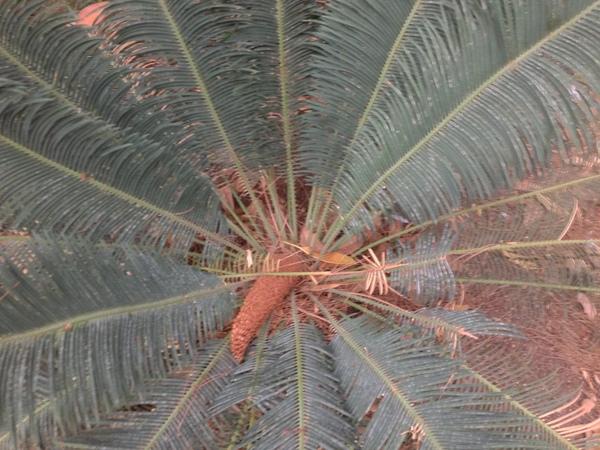 Cycas panzhihuaensis L.Zhou & S.Y.Yang