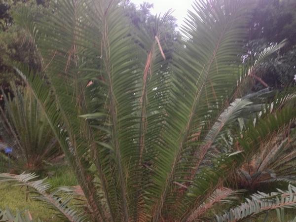 Encephalartos kisambo Faden & Beentje