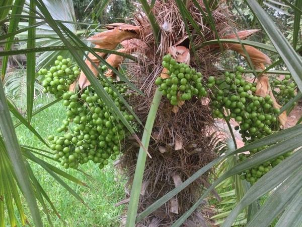 Trithrinax brasiliensis Mart.