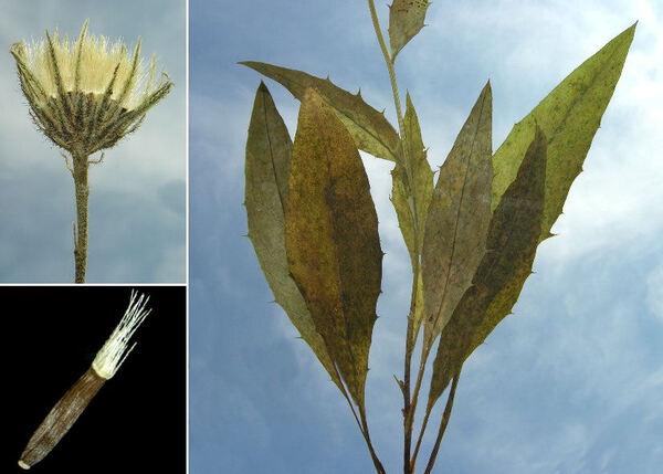 Hieracium saxatile Jacq. subsp. saxatile