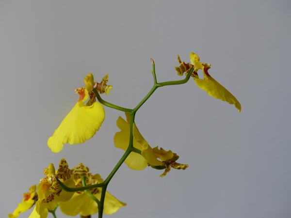 Oncidium sp.