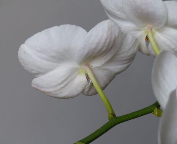 Phalaenopsis sp.