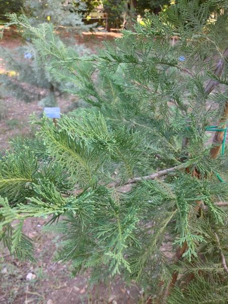 Hesperocyparis benthamii (Endl.) Bartel